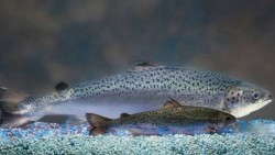 salmon_aquabonty-31269-39e1c